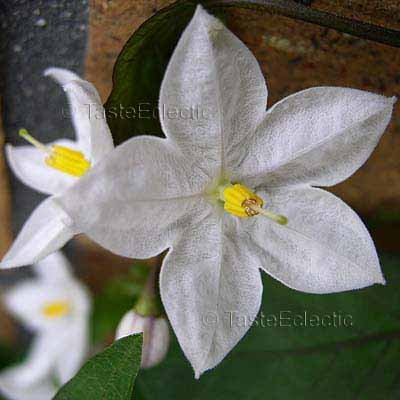how to grow jasmine from seed