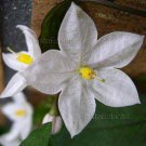 Solanum jasminoides 25 seeds WHITE POTATO STAR JASMINE VINE Easy HARD2FIND SALE