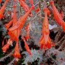 Zauschneria Epilobium cana 'Catalina' 25 seeds UNUSUAL TALL SILVER CALIFORNIA FUCHSIA