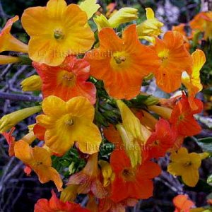 Streptosolen jamesonii 15 seeds ORANGE MARMALADE Fire Bush V RARE
