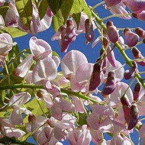 Wisteria V RARE PINK COLOR 5 seeds Bonsai Tree EASY Vine Z5