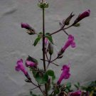 Lepechinia hastata 12 seeds BAJA PITCHER SAGE Pakaha FALSE SALVIA