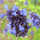 Salvia lavanduloides 10 seeds RARE SOUTH AMERICAN Blue Purple Calyx SAGE SALE