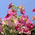 Nicotiana mutabilis 25 seeds COLOR CHANGING White-Pink-Dark Pink EASY FRESH