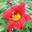 Hemerocallis DWARF RED STELLA 11 seeds Easy DAYLILY Day Lily FRESH