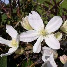 Clematis armandii 20 FRESH seeds EVERGREEN HARD-TO-FIND SCENTED Vine SALE