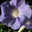 FRAGRANT PERENNIAL CAUDEX Morning Glory Ipomoea lindheimeri RARE 5 seeds SALE Last Call
