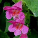 Asarina erubescens 'Magic Dragon' 25 seeds CLIMBING GLOXINIA VINE Hard-To-Find EASY