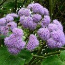 Bartlettina sordida 20 seeds BLUE MIST FLOWER TREE Purple Torch Of The Cloud