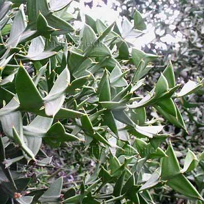 ... seeds GEOMETRIC SUCCULENT V RARE Unusual LEAF-LESS ANCHOR PLANT