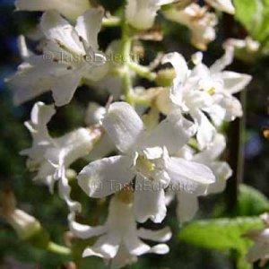 Ribes sanguineum 'Album' 10 seeds RARE WHITE WINTER FLOWERING CURRANT Last Call SALE