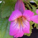 Rehmannia elata 50 seeds CHINESE FOXGLOVE Long Bloom EASY SHADE