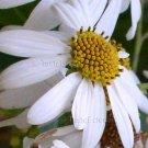 Podachaenium eminens 20 seeds GIANT TREE DAISY V RARE