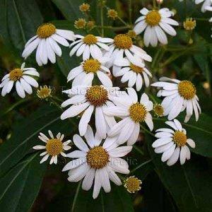 Podachaenium chiapanum 20 seeds CHIAPAS GIANT TREE DAISY V RARE
