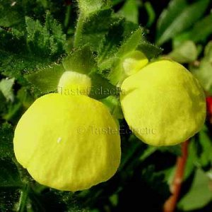 Calceolaria mexicana 20 seeds HARD2FIND MEXICAN POUCH POCKETBOOK SLIPPER FLOWER