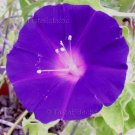 PURPLE REVERSE TUBE Blown Leaf MUTANT JAPANESE Morning Glory Vine 5 seeds V RARE