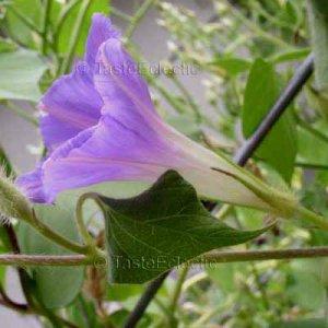 NANTEN Bat Leave LAVENDER MUTANT Japanese Morning Glory RARE EASY Vine 5 seeds