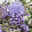 Wisteria Purple Lilac Blue 10 seeds FRAGRANT Bonsai Tree EASY Vine Z5