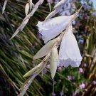 Dierama pulcherrimum *RARE WHITE* 10 seeds ANGEL FISHING ROD SWAYING WAND FLOWERS