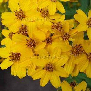 Tagetes lemmonnii 35 seeds TANGERINE BUSH/TREE MARIGOLD Fresh SALE