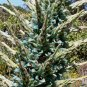 Puya berteroniana 25 seeds RARE TURQUOISE BLUE BROMELAID SALE
