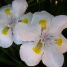 Dietes 'Spotted Lemon' 10 seeds V RARE New TALL AFRICAN IRIS Fortnight Lily