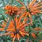 Leonotis leonurus 25 seeds LION'S TAIL Wild Dagga AFRICAN SMOKE HERB