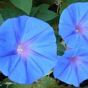 Ipomoea indica 5 seeds BLUE DAWN FLOWER Ocean Perennial MORNING GLORY Vine HARD2FIND