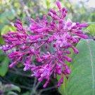 Fuchsia arborescens 20 seeds LILAC SCHUFIA MITE-RESISTANT RARE