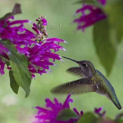 Salvia iodantha 10 seeds Mexican Fuchsia Sage WINTER V RARE