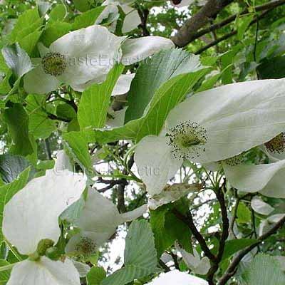 Davidia involucrata ssp vilmoriniana 3 fruits seeds WHITE DOVE Handkerchief TREE V RARE