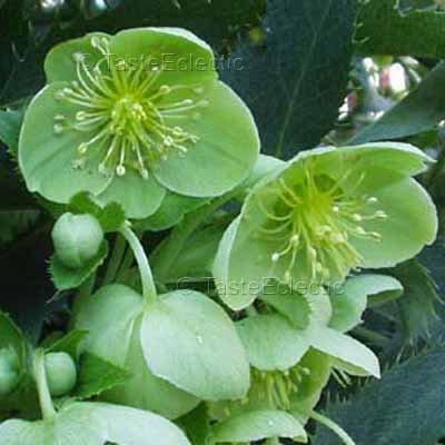 Helleborus argutifolius 15 seeds CORSICAN HELLEBORE Green Flowers AGM RARE Shade SALE