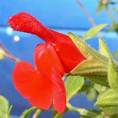 Salvia microphylla 'Red Flowers Green Calyx' 12 seeds BABY BLACKCURRANT SAGE Shade Z7 SALE