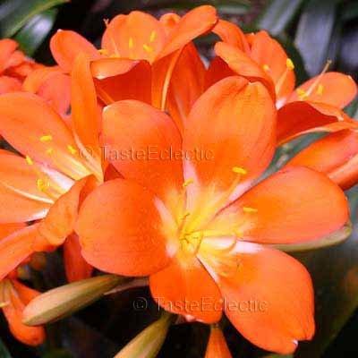 Clivia miniata Orange 5 seeds EASY SHADE HOUSEPLANT Fresh