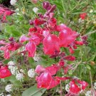 Salvia greggii 'Lipstick' 7 seeds NEW WATERMELON AUTUMN SAGE