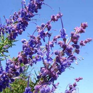 Trichostema lanatum 20 seeds WOOLY BLUE CURLS CA Native V RARE CURIOUS