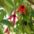 Fuchsia alpestris 25 seeds RARE BRAZILIAN CLIMING VINE Last Call SALE
