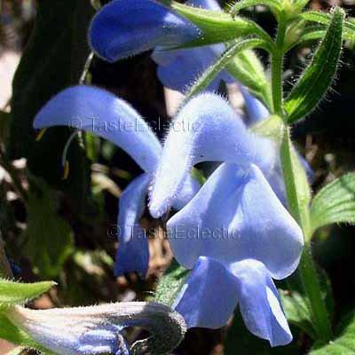 Salvia patens 'Cambridge Blue' 6 seeds TUBER GENTIAN SAGE Rare SKY Color AGM Last Call SALE