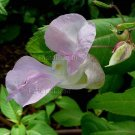 Impatiens glandulifera PALE PINK 7 seeds Himalayan Jewelweed SHADE