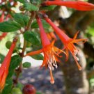 Fuchsia hartwegii 20 seeds V RARE ORANGE COLUMBIA