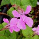 Impatiens telekii/mildbraedii subspp telekii 5 seeds V RARE SLENDER Africa BUTTERFLY JEWELWEED