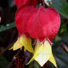 Abutilon megapotamicum 5 seeds TRAILING FLOWERING MAPLE Chinese Bell Flower V RARE