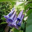 Iochroma grandiflora 5 seeds RARE GIANT MINI BLUE Brugmansia Kin
