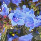 Echium gentianoides 'Tajinaste' 8 seeds TRUE BLUE Endangered V RARE