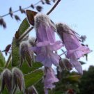 Lepechinia fragrans 6 seeds WALLACES FRAGRANT PITCHER SAGE Island Showy Hard-To-Find