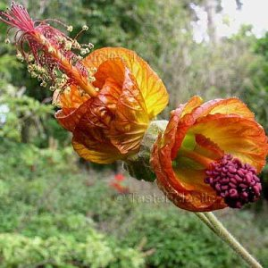 Abutilon tridens 10 seeds GUATEMALAN Burnt Orange FLOWERING MAPLE Cloud Forest V RARE SALE