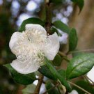 Luma chequen 11 seeds ARRAYAN White Chilean Myrtle SPICE Hard-To-Find Ugni Kin