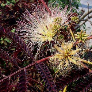 Albizia julibrissin 'Summer Chocolate' 4 seeds BLACK PURPLE MAROON MIMOSA Silk TREE Hard-To-Find Z7