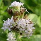 Stevia rebaudiana 100 seeds SWEET HONEY LEAF Healthy Sugar Alternative