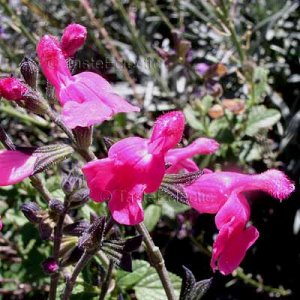 Salvia microphylla 'Cherry Pink' 10 seeds PINK BABY CURRANT SAGE EZ Shade-OK Z7